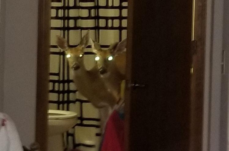 Three Deer Break Into Elderly Woman's Apartment