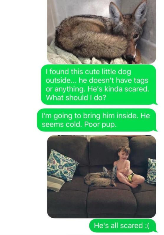 mom brings a coyote into her home thinking it's a lost puppy, allows it to snuggle with her kid | at this point, kayla still wants to keep the coyote in the house, even though she's now aware that it's not a dog.
