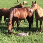 Pregnant Mare Goes Into Labor and The Herd Comes Running When The Foal Drops To The Ground