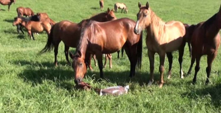 Pregnant mare gives birth and herd comes running