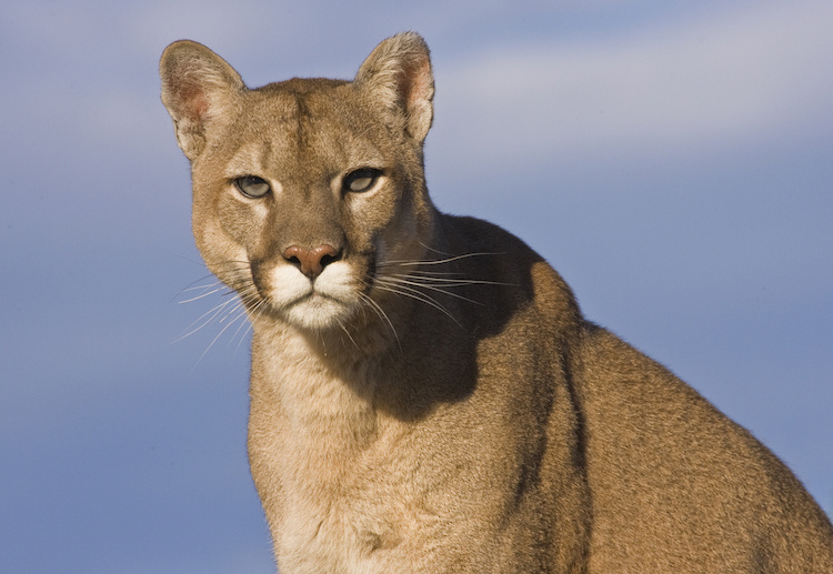 A Mountain Lion Made Itself at Home in This Woman's House. Her Solution Was Both Compassionate and Amazing.