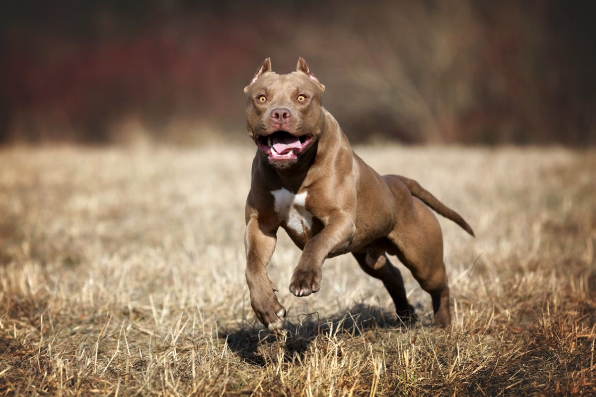 9-year-old mauled to death by pit bulls after checking mail