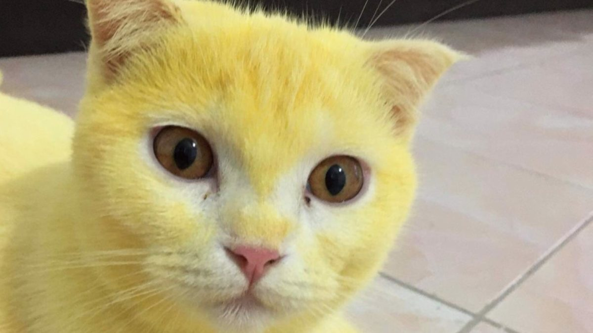 woman accidentally dyes cat yellow after turmeric treatment