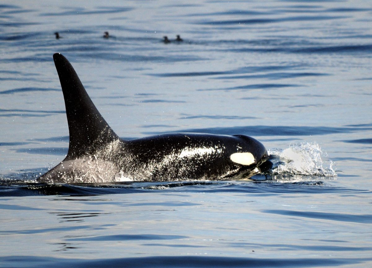 The Orca Whale Tahlequah Is Finally A Mother Again