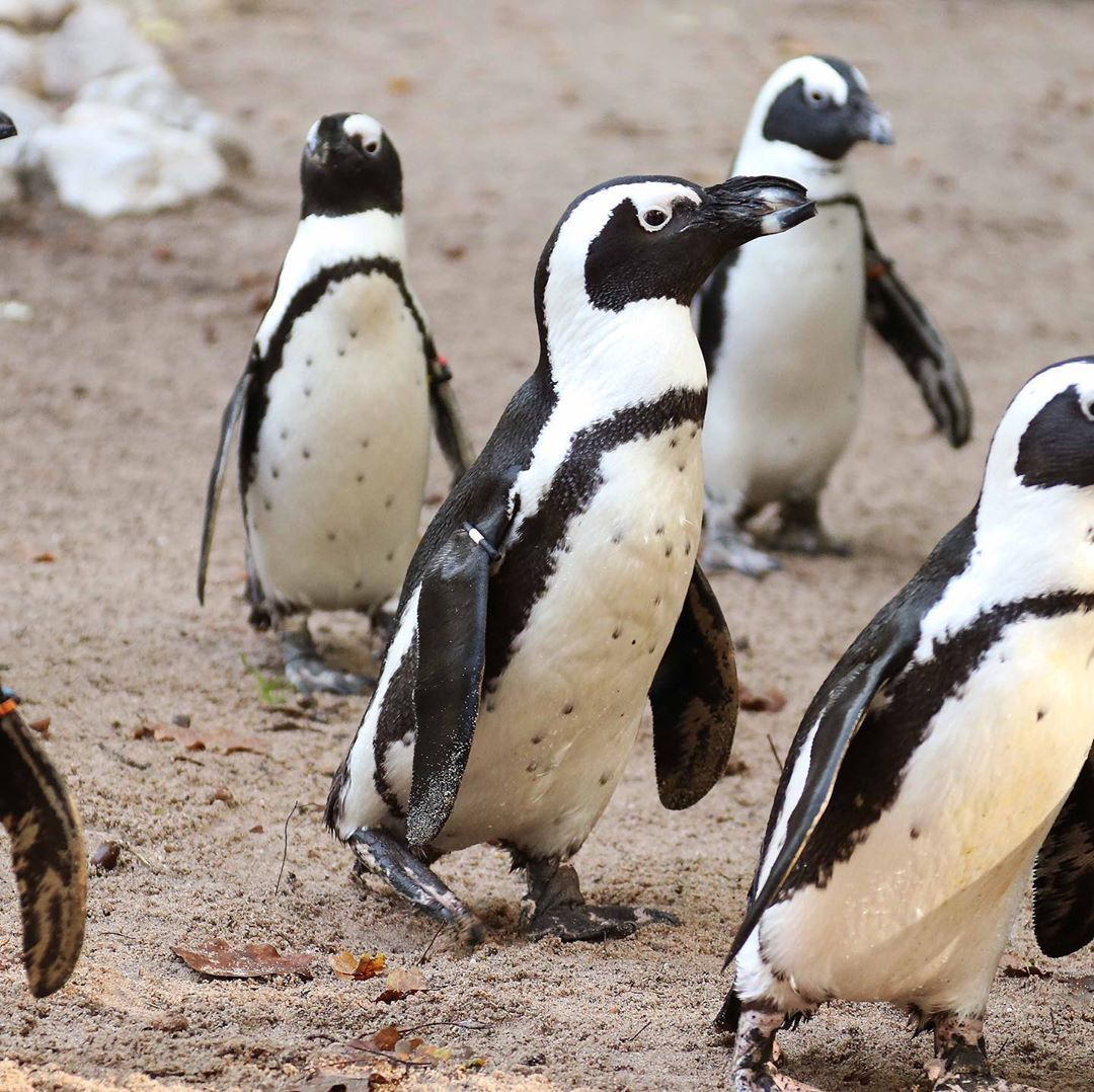 gay penguins heartlessly steal eggs from lesbian penguins