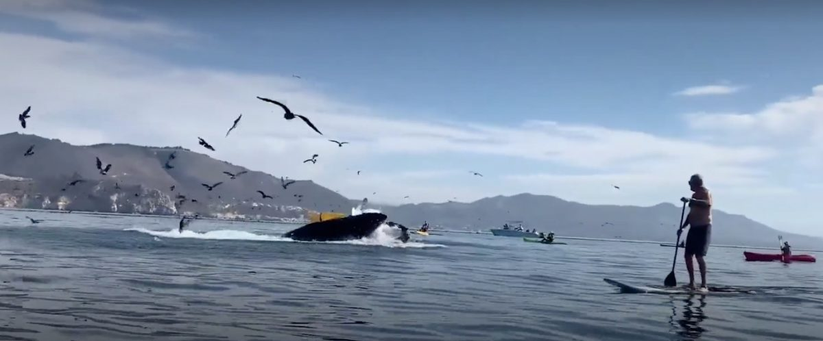 hair-raising video: humpback whale appears to swallow kayakers off california coast