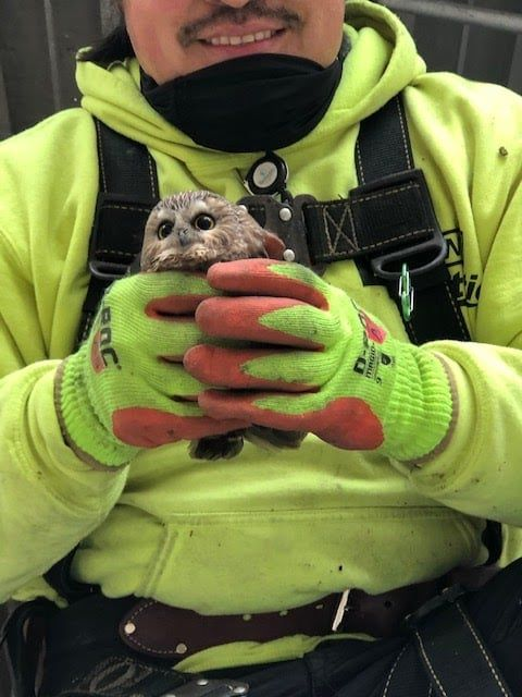 sad rockefeller christmas tree harbors clandestine owl in its balding branches | a very ugly christmas tree contained a very cute little owl. surprises abound at rockefeller center in 2020.