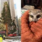 Sad Rockefeller Christmas Tree Harbors Clandestine Owl In Its Balding Branches