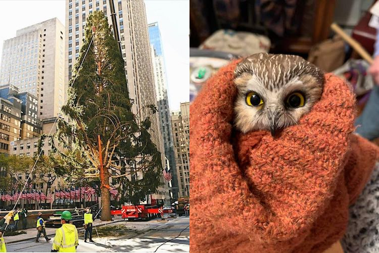 Sad Rockefeller Christmas Tree Harbors Clandestine Owl In Its Balding Branches
