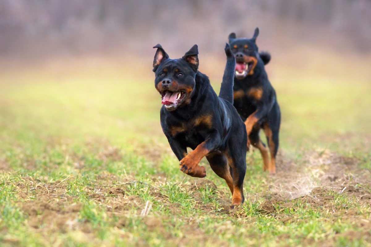 10-month-old attacked and killed by family's 2 rottweilers