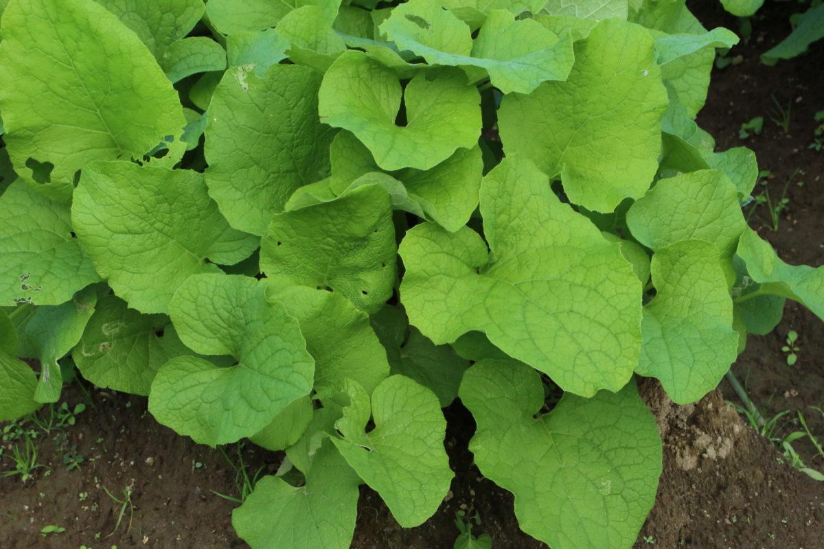 burdock plant herb