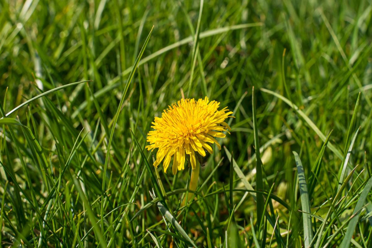 dandelion plant herb