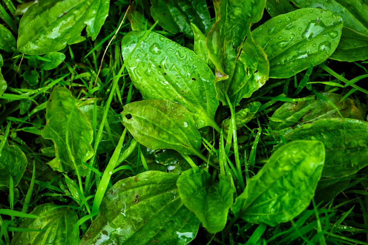 plantain plant herb
