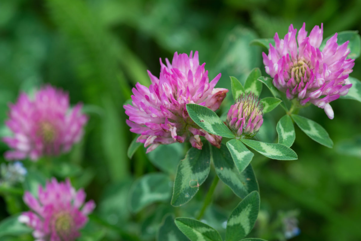 red clover plant herb